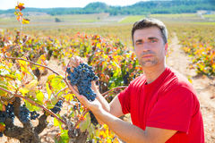 Winemaker harvesting Bobal grapes in mediterranean Stock Photos