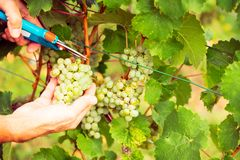 Winemaker Harvesting Grapes. Detail shot of his hands royalty free stock images