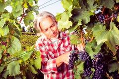 Winemaker Harvesting Grapes royalty free stock photos