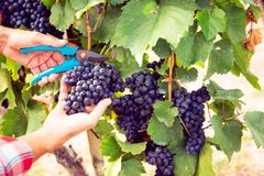 Winemaker Harvesting Grapes. Detail shot of his hands royalty free stock photos