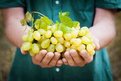 Winemaker holding in hands the harvest of grape. Organic fruits and farming theme. Winemaker holding in hands the harvest of grape. Organic fruits and farming royalty free stock image