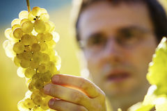Winemaker inspecting grapes. Male winemaker inspecting quality of bunch of green wine grapes in vineyard before harvest, close up on grapes royalty free stock photo