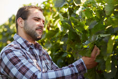 Winemaker inspects vine leaves Royalty Free Stock Photography