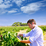 Winemaker oenologist checking bobal wine grapes Royalty Free Stock Images