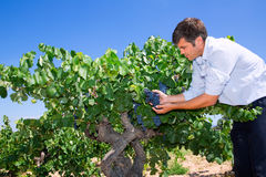 Winemaker oenologist checking bobal wine grapes Royalty Free Stock Photo