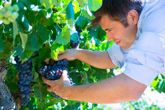 Winemaker oenologist checking bobal wine grapes Stock Images