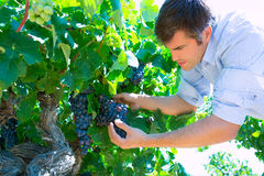 Winemaker oenologist checking bobal wine grapes. Ready for harvest in Mediterranean stock images