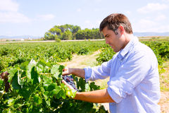 Winemaker oenologist checking bobal wine grapes stock photography