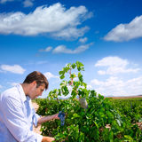 Winemaker oenologist checking Tempranillo wine grapes royalty free stock photo
