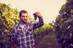 Winemaker picking blue grapes Stock Images