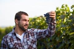 Winemaker picking blue grapes Stock Photo