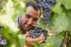 Winemaker at picking blue grapes Royalty Free Stock Photo