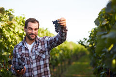 Winemaker picking blue grapes Stock Photography