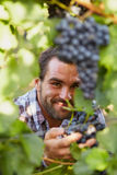 Winemaker at picking blue grapes. Young winemaker in vineyard picking blue grapes royalty free stock photo