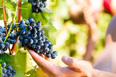 Winemaker picking wine grapes. Winemaker man picking grapes at harvest time in the sunshine stock photo