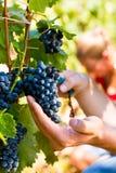 Winemaker picking wine grapes Stock Photo