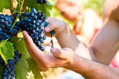Winemaker picking wine grapes. Winemaker man picking grapes at harvest time in the sunshinee royalty free stock image