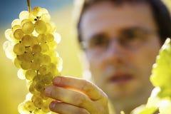 Winemaker que revisa las uvas Foto de archivo libre de regalías