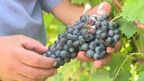 Winemaker sprawdza winogrona zdjęcie wideo