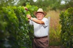 Winemaker supérieur dans le vignoble Photo libre de droits