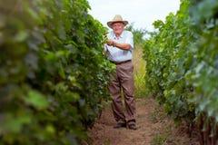 Winemaker superior no vinhedo Imagens de Stock