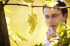 Winemaker tasting grapes in vineyard. Close-up of bunch of green grapes hanging from vine in vineyard with blured male winemaker in background tasting a grape royalty free stock photography