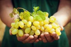 Winemaker tenant dans des mains la récolte du raisin mûr Fruits organiques et thème de ferme photographie stock libre de droits