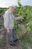 Winemaker in the vineyard. The winemaker is controlling the harvest of grapes in the vineyard stock photography