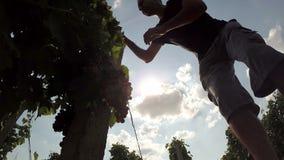 Winemaker or Vintner Taking Care of the Vineyard stock video