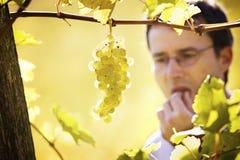 Winemakerprobierentrauben im Weinberg. Lizenzfreie Stockfotografie