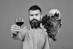 Winemaking and autumn concept. Winegrower with strict face presents product made of grapes. Vintner shows harvest. Man. With beard holds bunch of grapes and Royalty Free Stock Images