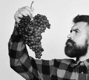 Winemaking i jesieni upraw pojęcie Mężczyzna z brodą trzyma wiązkę winogrona odizolowywający na białym tle Winegrower z Fotografia Stock