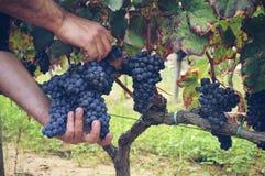 winemaking proces Obraz Stock