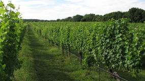 Winemaking Summer Winery. Green Rows of grapes growing in a Winery Stock Image