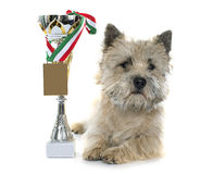 Winer cairn terrier Royalty Free Stock Images