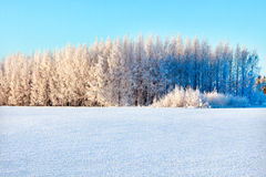 Winer forest on a bright sunny day. With brilliant blue sky stock photography