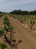 Xinomavro winery vineyards  in Greece Stock Photo