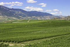 Wineries. Long and grassy land of wineries and the mountains Royalty Free Stock Photography