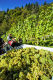 Wineries for wine grapes in the vineyard Royalty Free Stock Photo