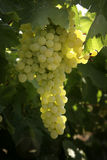 Winery. Vineyard with ripe white grapes Stock Images