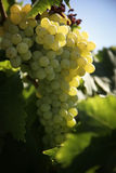 Winery. Vineyard with ripe white grapes Royalty Free Stock Images