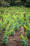 winery obrazy royalty free
