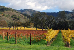 Winery in the autumn. Grapevines with autumn leaves, Napa, California Royalty Free Stock Image