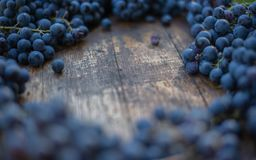 Winery brand logo background. Blue grapes on the top of wine barrel. stock image