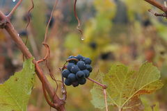 Winery in the fall. Grape close-up from an Okanagan winery in the fall Royalty Free Stock Photography