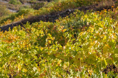 Winery Forest vineyard agriculture harverst autumn Troodos mountains Cyprus Stock Photography