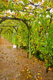 Winery gallery. Green gallery of grapes in winery garden Stock Photography