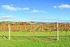 Winery Grape Vines in Autumn Colours Stock Photo