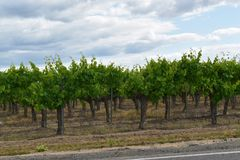 Grape vineyard planted in rows at a winery stock photo