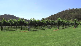 Winery Grapes 4 stock video footage